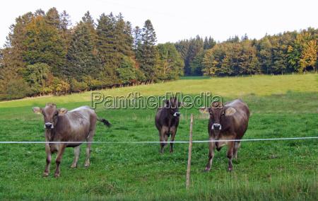 gambe animale verde marrone toro corno