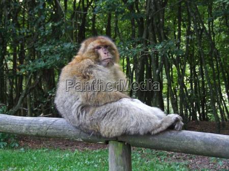 tronco scimmia mammiferi posto a sedere