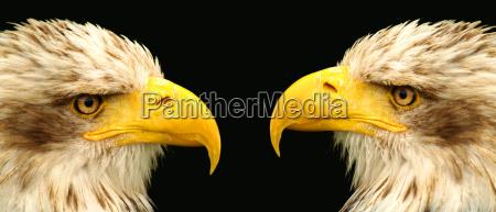 2 uccelli rapaci osservano attentamente