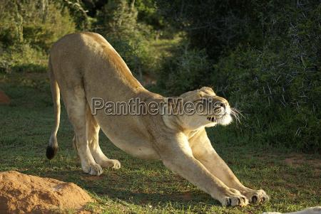 felino leonessa