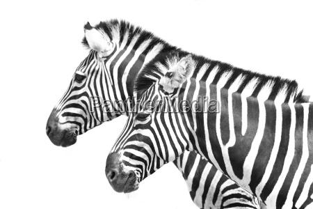 africa animali mammiferi zebre ungulati strisce