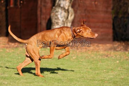 azione cane maschio cane segugio sport
