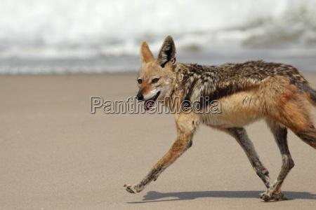 mammifero africa namibia riva del mare