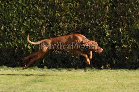 movimento in movimento cane saltare balzare
