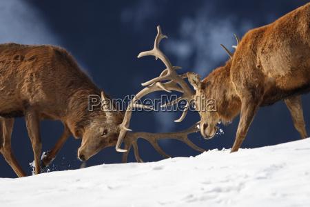 combattere nella neve