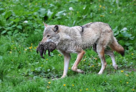 lupo e cucciolo