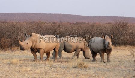 mammifero africa savana safari rinoceronte