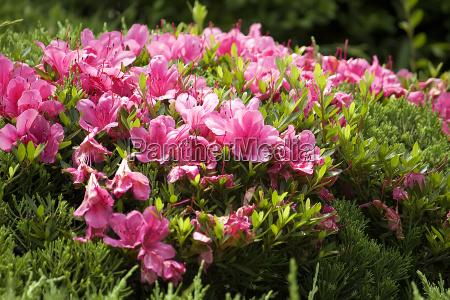 fiore fioritura gemma rododendro
