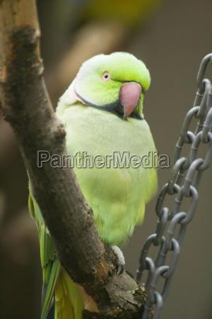 collar parakeet