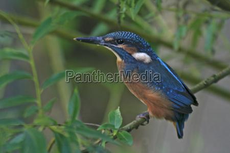 ramo pescatore martin pescatore uccellino volato