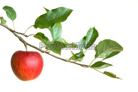 mela su un ramo