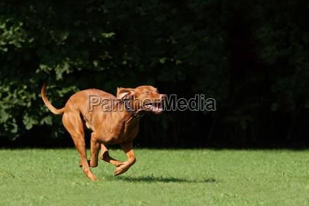 gioco giocato giocare cane segugio sport