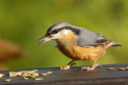 foraggio animale uccello uccelli becco becchi