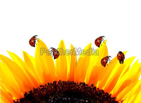 fiore girasole impianto irradiare in salita