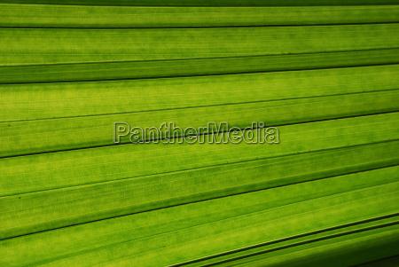 palm foglia close up