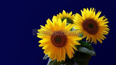 luce fiore fioritura girasole impianto struzzo