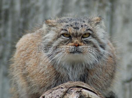 selvaggio cacciatore predatore gatto selvatico gatto