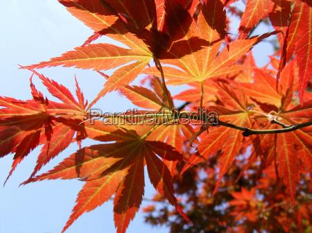foglia acero foglie di autunno ottobre