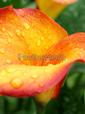 fiore fioritura calice fiori recisi flogistica