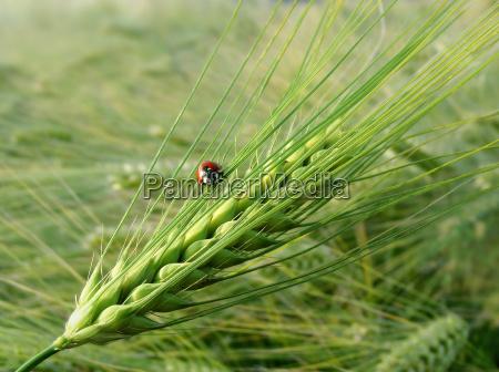 insetto scarafaggio grano orecchio orzo coccinella