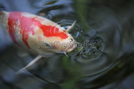 pesce onde acqua dolce stagno acqua