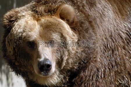 orso marrone pelliccia frontale