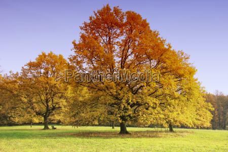 foglie albero caduco quercia dorato ottobre