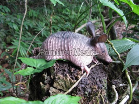 mammifero fauna animali armadillo