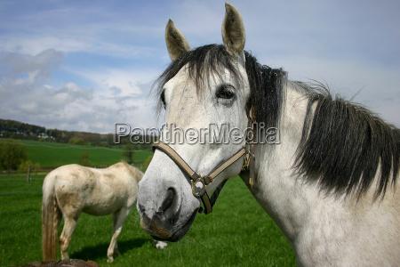 giro cavallo cavezza sguardo vista cintura