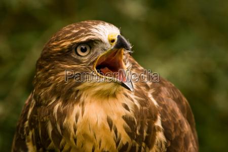 animale uccello animali uccelli natura poiana