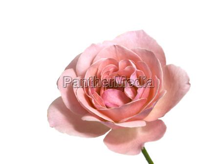 fiore rosa san valentino floreale