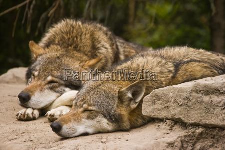 animale mammifero animali mammiferi lupo lupi