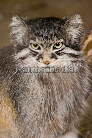 animale mammifero animali mammiferi gatto gatta