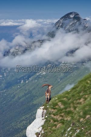 alpi capricorno italia stambecco paesaggio natura
