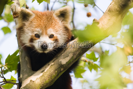 animale mammifero animali mammiferi quotred pandaquot
