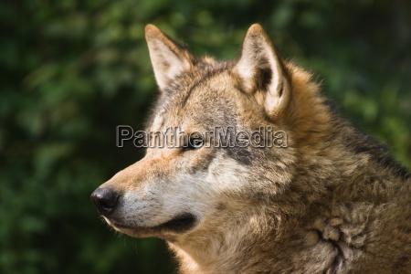 animale mammifero animali cacciatore mammiferi lupo