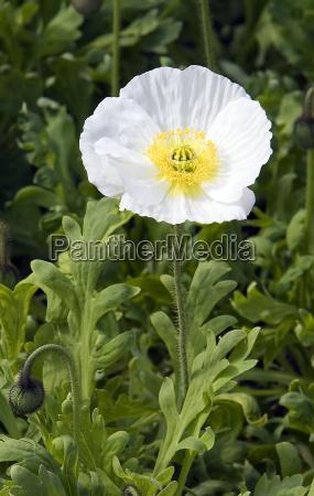papavero, bianco - 1794099