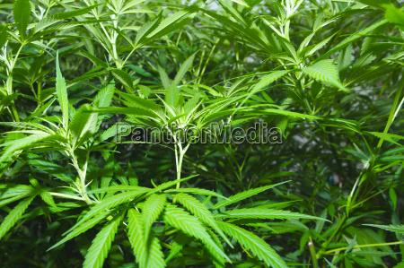 molte piante di marijuana