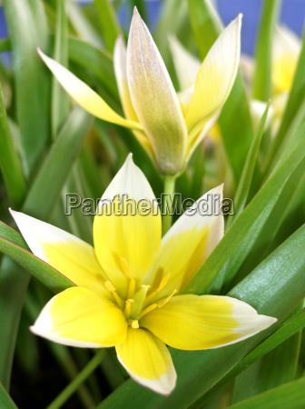 fiore impianto tulipano botanico