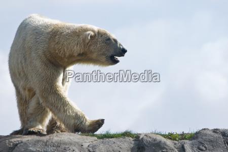 orso polare che cammina