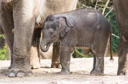 animale mammifero elefante animali mammiferi elefanti