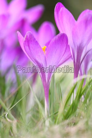 bello bella fiore fioritura primavera croco