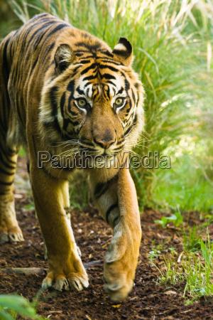 maschio tigre asiatico