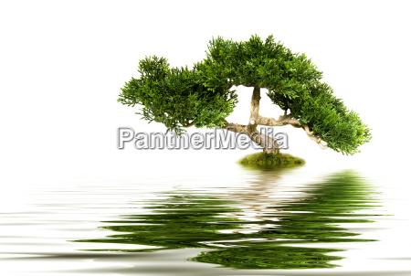 albero di bonsai che riflette in