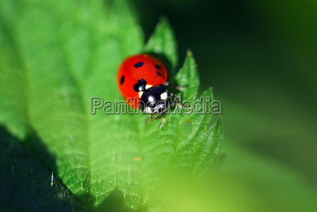 insetto nero punteggiata rosso pianta coccinella