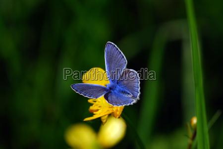blu ult su butterflower
