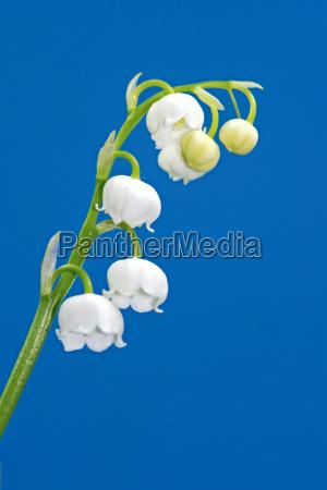 blu fioritura fiore fiori maggio mughetto
