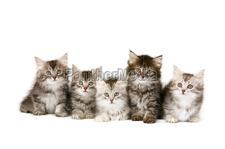 gattini siberiani in una fila