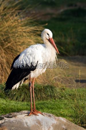 animale uccello animali uccelli cicogna cicogne