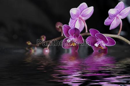 orchidea e acqua